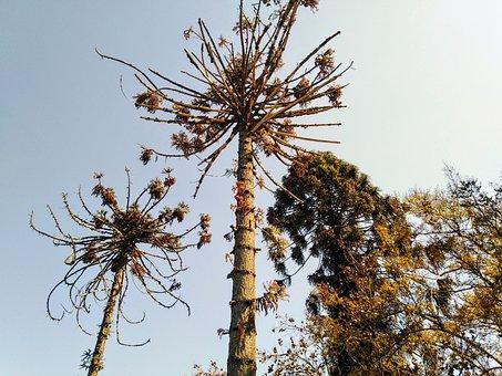 Araucaria, Chile, Tree, Exotic, Branches, Araucana