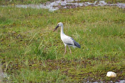 Crane, Bird, Spoonbill, Nature, Animal, Wildlife