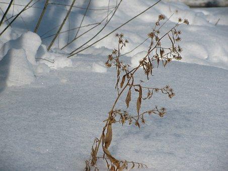 Dead, Flower, Snow, Winter, Pretty