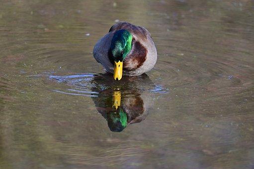 Mallard, Duck, Drake, Waterfowl, Mirroring, Colorful