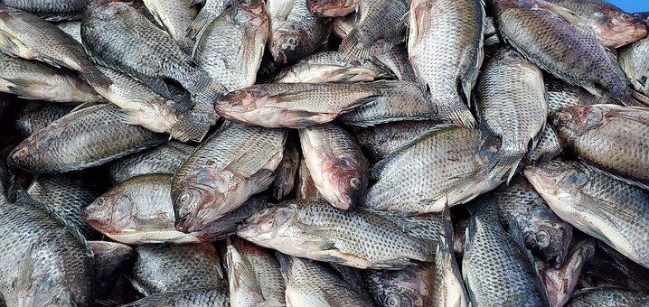 Fish, Bass, Fishing, Cod, Trout, Sea, Food, Fisherman