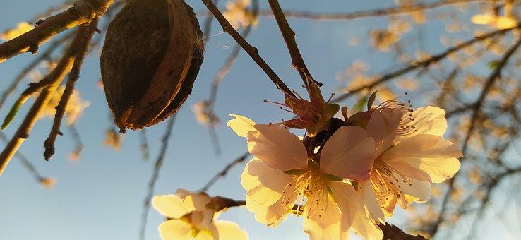 Almendra, Flor, Fruto, árbol, Rama, Campo, Flora