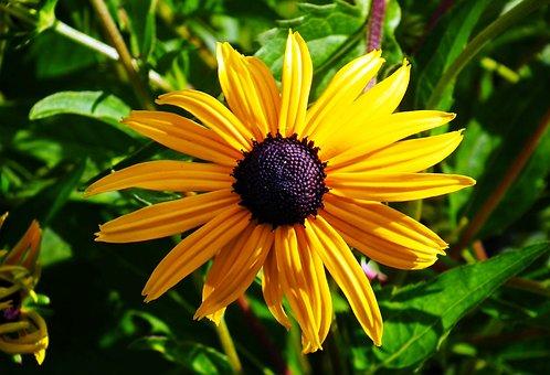 Rudbekia, Golden, Summer, Flower, Blossoming, Garden