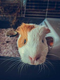 Guinea Pig, Pet, Animal, Head, Cavy, Rodent, Mammal