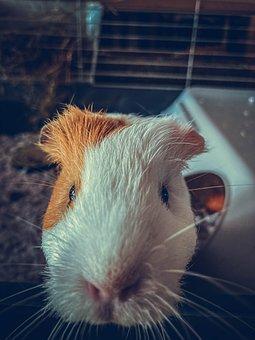 Guinea Pig, Pet, Animal, Head, Rodent, Mammal, Cute