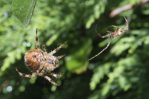 Spiders, Mating, Mate, Arachnid, Couple