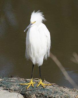 Snowy Egret, Egret, Bird, Wildlife, White, Nature