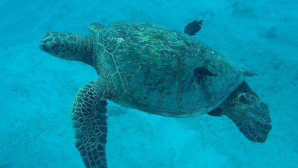 Sea Turtle, Underwater, Ocean, Turtle, Animal, Hawaii