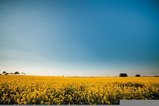 Oilseed Rape, Field Of Rapeseeds, Landscape, Yellow