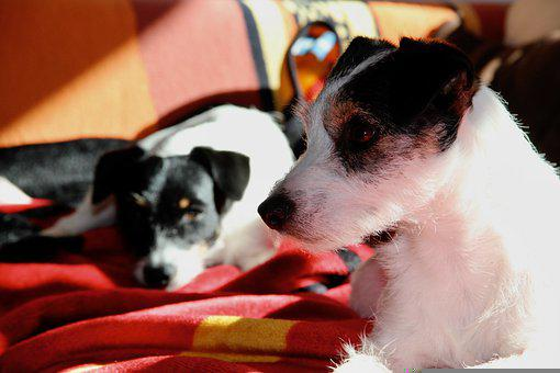 Jack Russell Terrier, Dog, Pet, Cute, Adorable