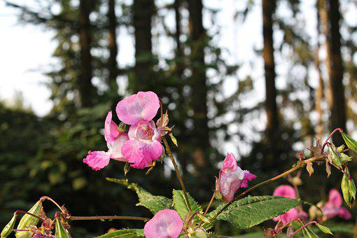 Himalayan Balsam, Flowers, Plant, Petals, Pink Flowers