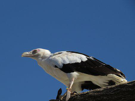 Bird, Vulture, Raptor, Nature, Scavengers, Plumage