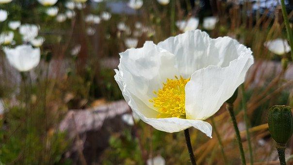 Summer, Poppy, Flower, White, Closeup, Nature