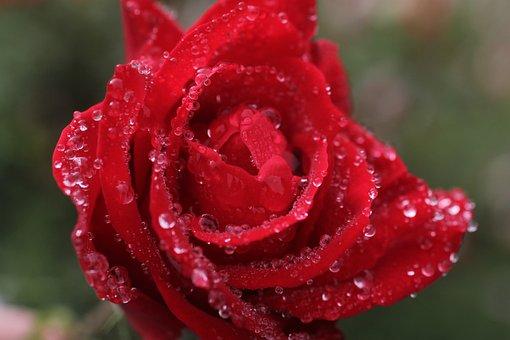 Rose, Red Rose, Rain Drops, Water Drops, Red, Summer