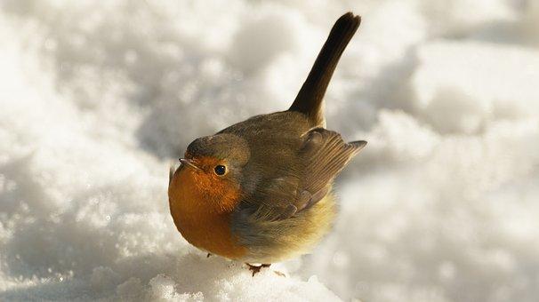 Robin, Winter, Bird, Feathers, Plumage, Ave, Avian