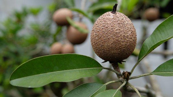 Sapodilla Fruit, Brown, Tropical
