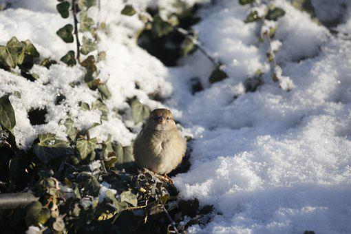 Bird, Sperling, Sparrow, Snow, Animal, Feathers