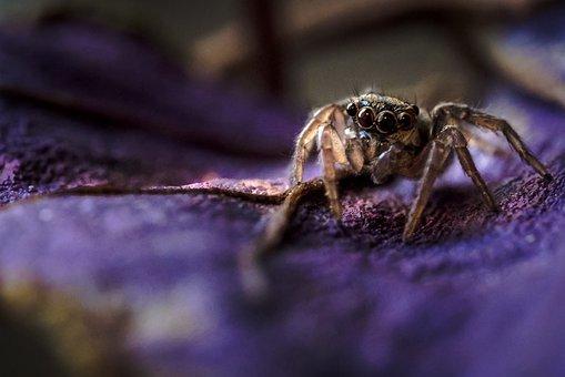 Jumping Spider, Spider, Animal, Arachnid, Wildlife