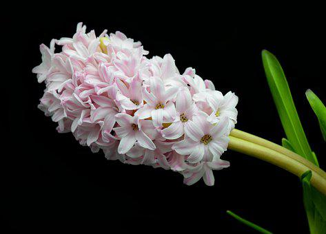 Hyacinth, Blossom, Bloom, Spring Flower, Flower, Spring