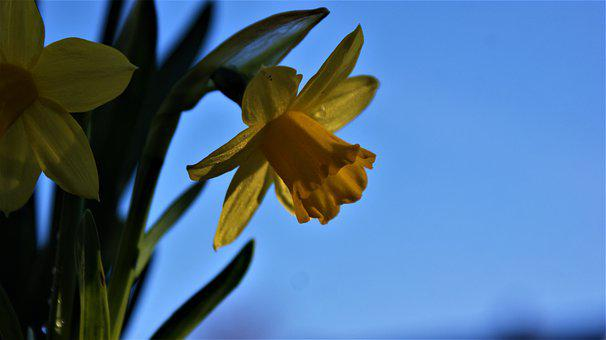 Narcis, Spring, Vegetable, Bloom, Beauty, Yellow, Flora