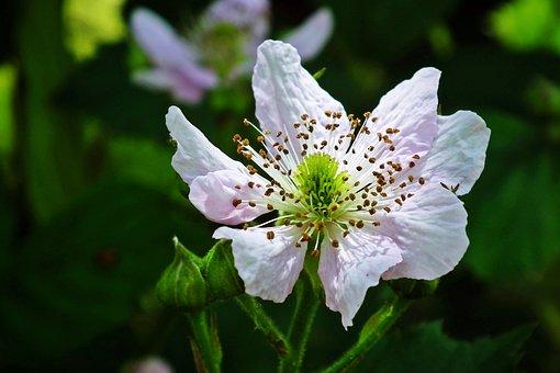 Blackberry, Flower, Plant, Petals, Stamens, Bloom