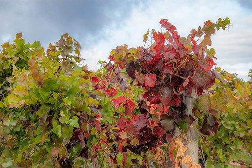 Wine, Vineyard, Winegrowing, Vine, Green, Wine Leaf