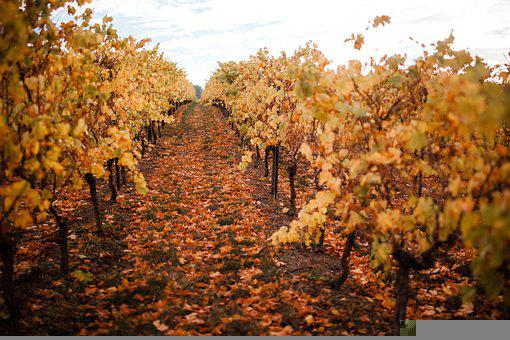 Vineyards, Winemaker, Wine, Vineyard, Winegrowing, Vine
