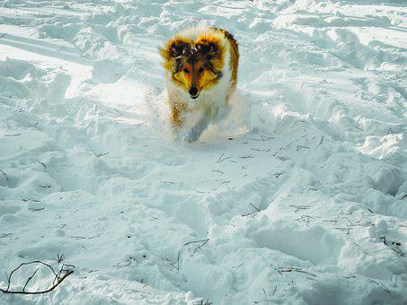 Active, Adorable, Animal, Cold, Collie, Cute, Dog