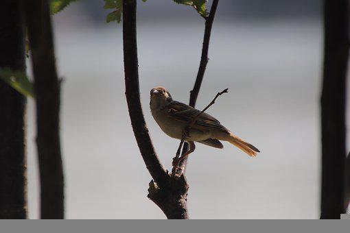 Sparrow, Bird, Pond, Animal, Small Bird, Passerine Bird