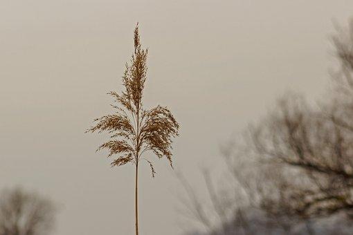 Reed, Crop, Villosa Iris, Aquatic Plants, Grass, Botany