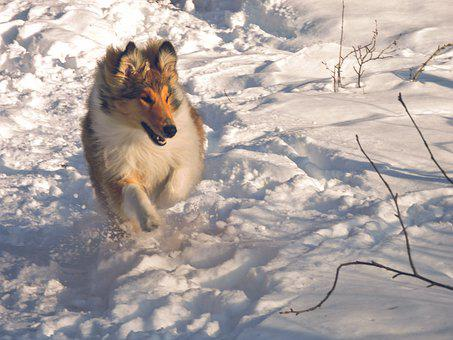 Active, Beautiful, Breed, Cold, Collie, Cute, Dog