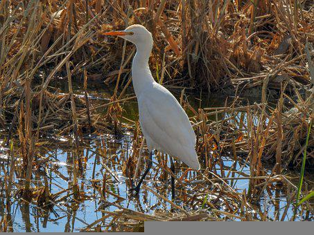 Great Egret, Bird, Marsh, Heron, Animal, Wildlife