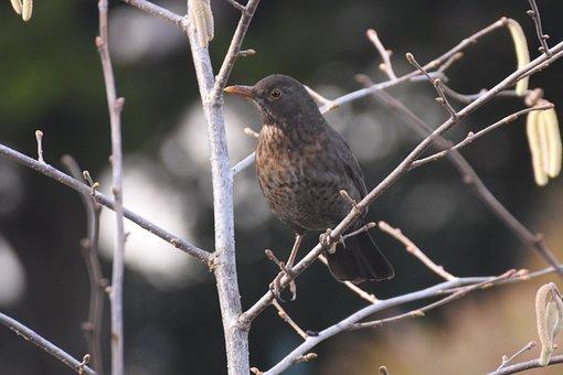 Merlette, Merle, Bird, Nature, Beak, Female, Garden