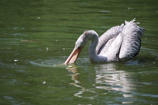 Pelican, Bird, Pond, Fishing, Wading, Water Bird