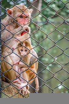 Monkeys, Baby Monkey, Fence, Cage, Chain Link