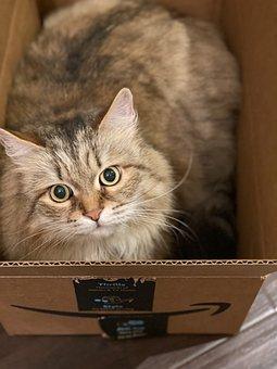 Cat, Amazon Box, Siberian Cat, Cat In Box