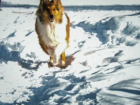 Cold, Collie, Cute, Dog, Domestic, Fetch, Forest