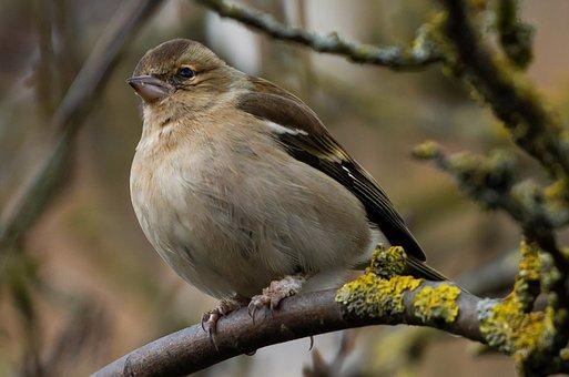 Female Bird, Female Chaffinch, Chaffinch, Perched