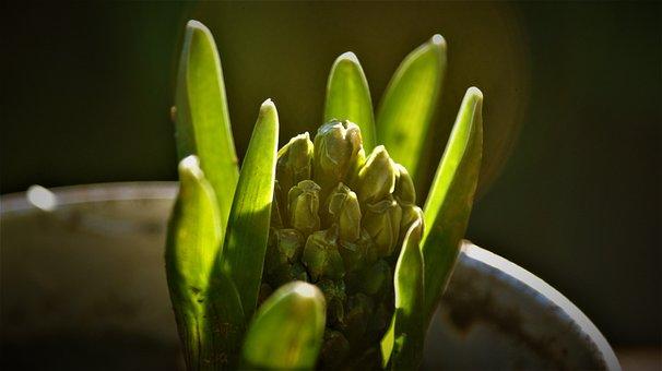 Sunlight, Hyacinth, Bolplant, Bulb, Grow, Gardening