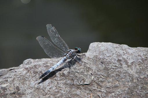 Dragonfly, Insect, Rock, Stone, Pond, Nature, Closeup