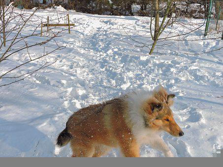 Action, Active, Lassie Dog, Long Haired