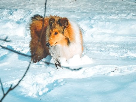 Adorable, Cold, Collie, Cute, Dog, Fur, Long-haired