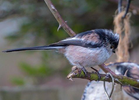 Long-tailed Tit, Silver-throated Tit, Bird, Beak