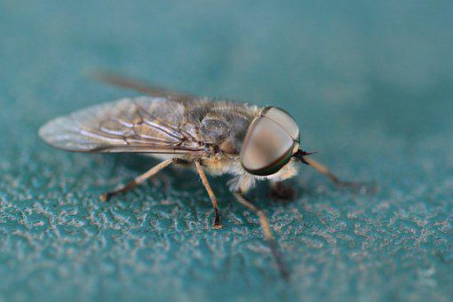 Fly, Insect, Macro, Compound Eyes, Close Up, Animal