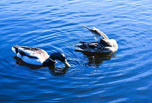 Ducks, Mallards, Lake, Dive, Birds, Waterfowls