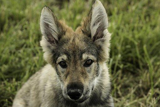 Dog, Wolf, Predator, Nature, Wolves, Mammals, Creature