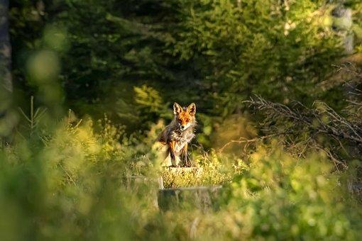 Red Fox, Vulpes Vulpes, Animal, Nature
