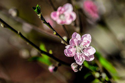 Flower, Cherry Flowers, Macro, Not The, Natural