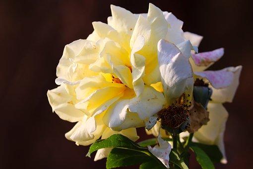 Rose, Yellow, Orange, Yellow Rose, Flower, Garden Rose