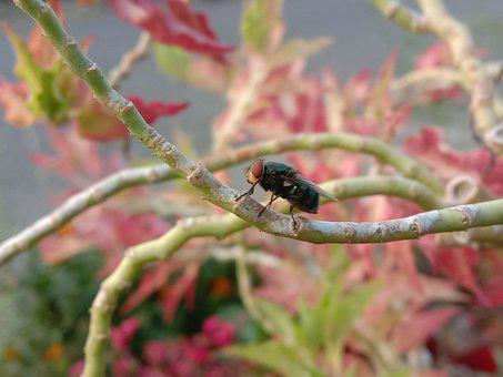 Blowfly, Insect, Animal, Photography, Photo Macro